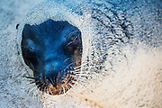 A Galapagos Sea Lion (Zalophus wollebaeki) encrusted in sand on the beach, Sante Fe Island,  Galapagos Islands, Ecuador