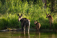 Moose, female and her two offspring, Kebler Pass, Colorado,