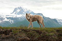 Majestic wolf with distant mountains, Alaska. Wildlife and nature photography prints. Fine art photography wall art for sale. Stock images.