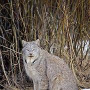 Canada Lynx, (Lynx canadensis) Portrait. Rocky mountains. Montana.  Captive Animal.