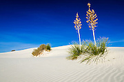 Soaptree Yucca (Yucca elata) and dunes, White Sands National Monument, New Mexico