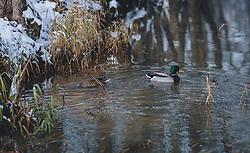 THEMENBILD - ein Entenpaar schwimmt in einem ruhigen Gewässer, aufgenommen am 03. Dezember 2020, Zell am See, Österreich // a pair of ducks swims in a calm water on 2020/12/03, Zell am See, Austria. EXPA Pictures © 2020, PhotoCredit: EXPA/ Stefanie Oberhauser