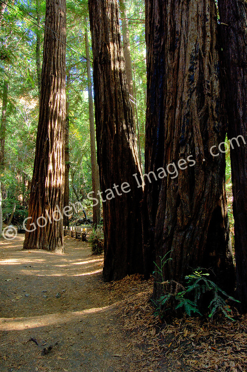 Trail among trees in Julia Pfeiffer State Park. <br /> <br /> Documented as living up to 2000 years and is the tallest tree in the world. Height to 350 feet or more.    <br /> <br /> Redwoods often grow in groups around the location of a parent tree that is killed by fire or disease.    <br /> <br /> Species: Sequoia sempervirens
