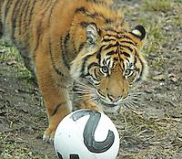 Sumatran Tiger, ZSL London Zoo Annual Stocktake 2015, Regents Park, London UK, 05 January 2015, Photo By Brett D. Cove