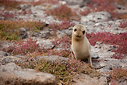 A young galapagos sea lion (Zalophus californianus) on South Plaza Island, Galapagos archipelago - Ecuador.