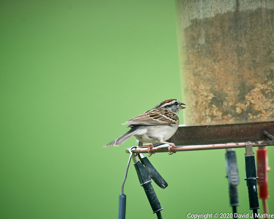 Chipping Sparrow. Image taken with a Nikon D5 camera and 600 mm f/4 mm VR lens (ISO 1600, 600 mm, f/5.6, 1/320 sec)