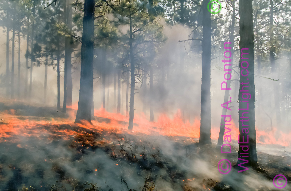Fire burns hot along floor of ponderosa pine forest during prescribed burn at Escobas Mesa in Bandelier National Monument, Jemez Mountains, New Mexico, June 17, 1998. © 1998 David A. Ponton