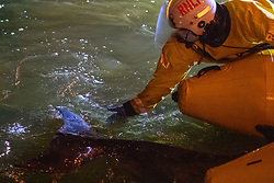 © Licensed to London News Pictures. 09/05/2021. London, UK. An member of the RNLI reaches out to touch the tail of a trapped Minke whale at Richmond Lock and Weir as emergency services attemp to rescue the animal. Photo credit: Peter Manning/LNP