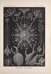 Kunstformen der Natur<br /> Leipzig und Wien :Verlag des Bibliographischen Instituts,1899-1904.<br /> https://biodiversitylibrary.org/page/47388291