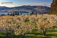 Flathead Cherry trees blossom along Flathead Lake near Polson Montana