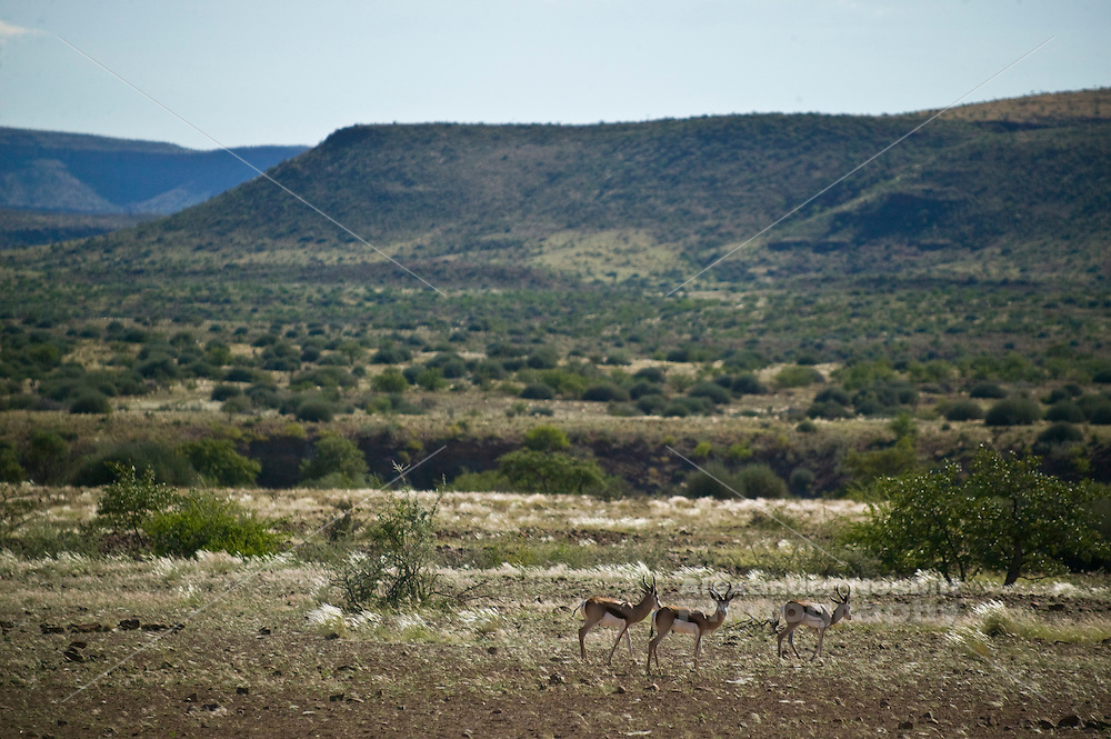 Africa, Namibia - Three Springbok grazing in untouched savannah