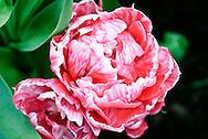Tulip 'Madelon' Keukenhof Spring Tulip Gardens, Lisse, The Netherlands.