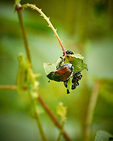 """Japanese Beetles eating the hated """"Mile-a-Minute"""" vine in my backyard wildflower meadow. Summer nature in New Jersey. Image taken with a Nikon 1 V3 camera and 70-300 mm VR telephoto zoom lens (ISO 400, 300 mm, f/5.6, 1/500 sec)"""