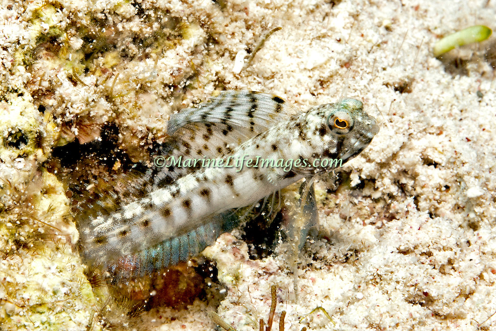 Sailfin Blenny inhabit shallow clear water areas of rock rubble and sand, perch in holes with head and verntral fins exposed Tropical West Atlantic; picture taken Little Cayman.