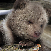Grizzly Bear (Ursus horribilis) spring cub during early spring in the Rocky Mountains, Montana. Captive Animal