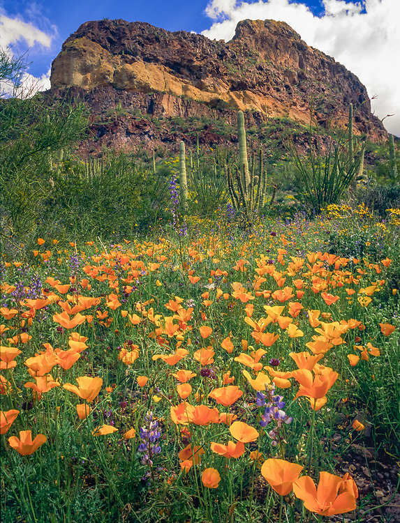 Yellow poppies in Organ Pipes National Monument