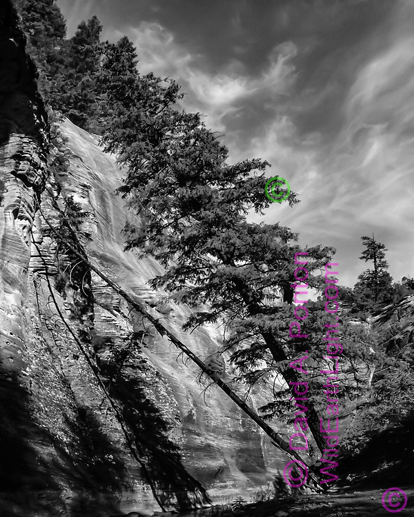 A large Douglas fir tree has leaned toward a sandstone cliff as the North Fork of the Virgin River has undermined it roots during flood stage, with the dead trunk of a companion in a later stage of the same fate. © David A. Ponton