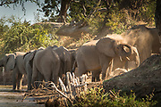 African elephants washing by river in Mana Pools National Park, Zambia