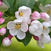 FLOWERING CRABAPPLE - MALUS 'DONALD WYMAN'