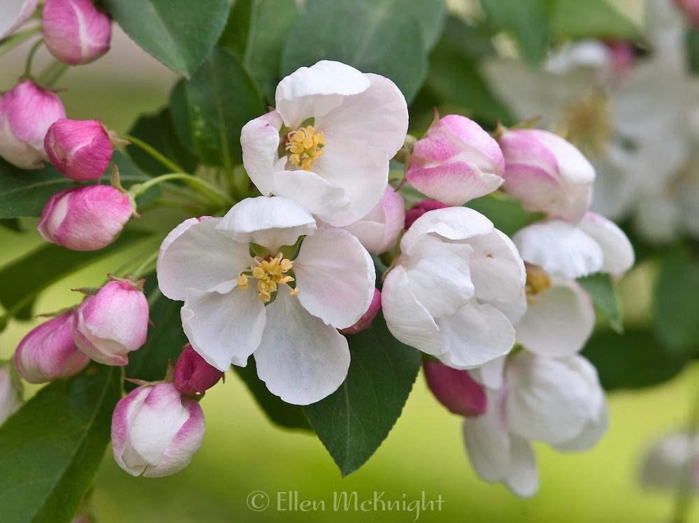 FLOWERING CRABAPPLE - MALUS 'DONALD WYMAN'