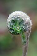 A Cinnamon Fern fiddlehead (Osmunda cinnamomea) in the rain.