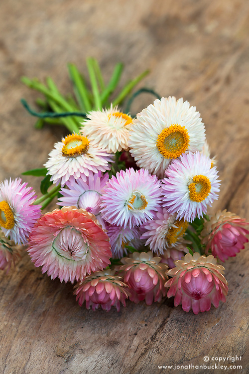 Helichrysum bracteatum 'Giant Pale Pink'. Everlasting flower, Strawflower
