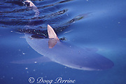 tiger shark, Galeocerdo cuvier, swimming with dorsal fin breaking the surface of the water, Bahamas ( Western Atlantic Ocean )