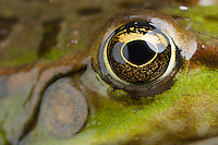 Marsh Frog, Pelophylax ridibundus (formely Rana ridibunda). Close-up of eye and ear drum. Stenje region, Lake Macro Prespa (850m) <br /> Galicica National Park, Macedonia, June 2009<br /> Mission: Macedonia, Lake Macro Prespa /  Lake Ohrid, Transnational Park<br /> David Maitland / Wild Wonders of Europe