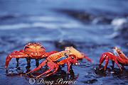 Sally Lightfoot crabs, Grapsus grapsus, Galapagos Islands, Ecuador ( tropical Eastern Pacific Ocean )