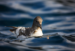 Cape petrel i sub-Antarctic oceans south of New Zealand