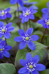 Hepatica nobilis 'Blue form'