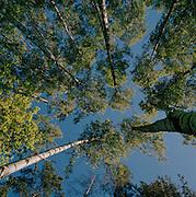 Aspen trees in a park in Stockholm, Sweden