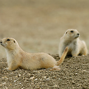 Black-Tailed Prairie Dog (Cynomys ludovicians) pair outside a hole. Summer in Charles M. Russell National Wildlife Refuge, Montana