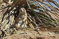 Black-tailed prairie dog, Cynomys ludovicianus. Arizona-Sonora Desert Museum, Tucson, Arizona