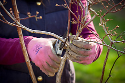Pruning a blueberry bush in spring. Removing old stems. Vaccinium