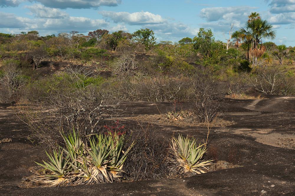 Zerophytic Vegetation, Orinoco River Basin, 110 Km north of Puerto Ayacucho. Apure Province, VENEZUELA. South America.