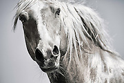 Immortal is a print of a wild horse that shows its perseverance and strength to never give up and fight for the rights of every wild mustang in america
