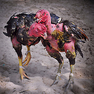 Cockfight in Cam Ranh, Vietnam, Southeast Asia