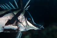 Pentaceropsis recurvirostris (Longsnout boarfish)