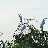 Great Egrets (Ardea alba) perch on branches in the Amazon Jungle above Peru's Yanayacu River.