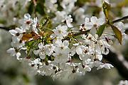 Cherry Blossom, England