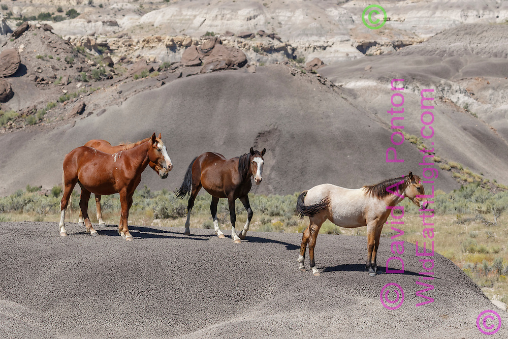 Free-ranging horses pause on barren ground surrounded by badlands in north-western New Mexico, © David A. Ponton