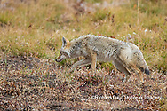 01864-03414 Coyote (Canis latrans) Yellowstone National Park, WY