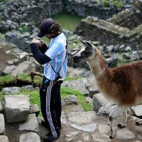 South America, Peru, Machu Picchu. Llama sneaks up on unsuspecting tourist at Machu Picchu.