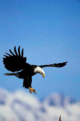 Bald Eagle, (Haliaeetus leucocephalus) Adult landing on snag. Alaska.