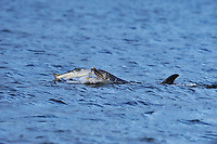 Adult Bottle-nosed Dolphin feeding on salmon,<br /> Tursiops truncatus,<br /> Moray Firth, Nr Inverness, Scotland - June