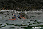 RM 34, an aggressive adolescent male Hawaiian monk seal, Monachus schauinslandi ( Critically Endangered Species ), about two and a half years old, makes unwanted advances toward snorkelers at Honaunau, Hawaii Island ( the Big Island )