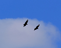 Turkey Vulture in Flight. Image taken with a Fuji X-T3 camera and 200 mm f/2 lens + 1.4x teleconverter.