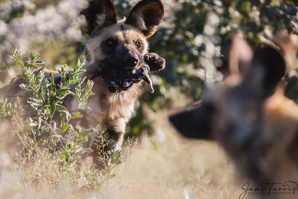 An African wild dog (Lycaon Pictus) carrying a new-born pup in her mouth, Kalahari Desert, Botswana, Africa