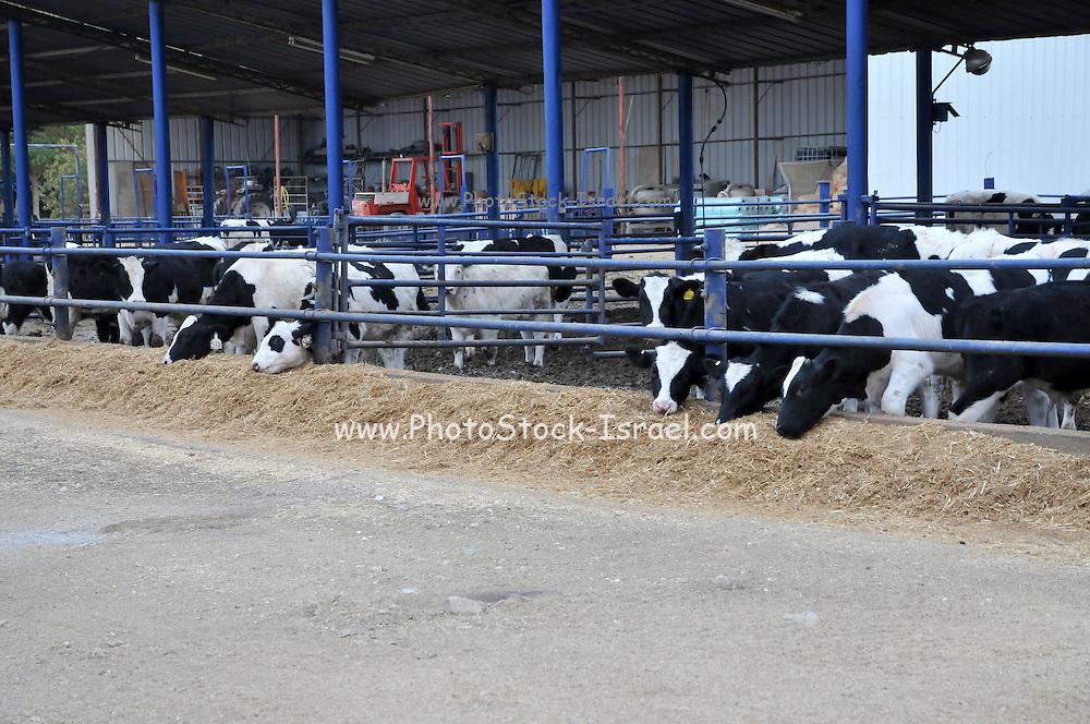 Cows at a Dairy farm Photographed in Israel, Arava, Moshav Paran